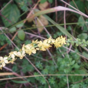 Agrimony flower head.