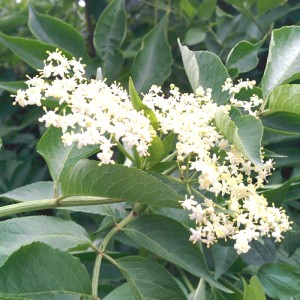 Elderflower in Flower.